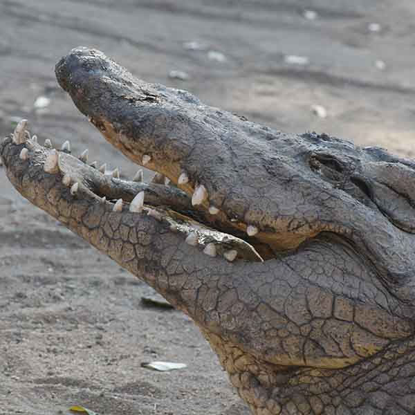 Internship in Africa with crocodiles