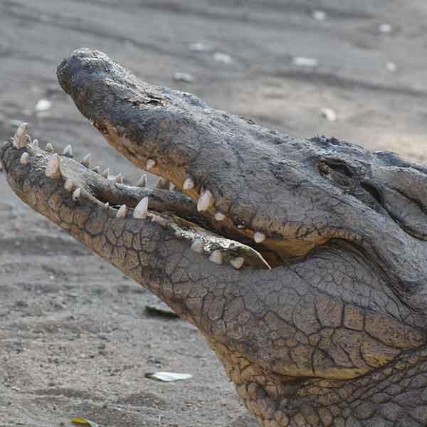 stage lopen in afrika met krokodillen