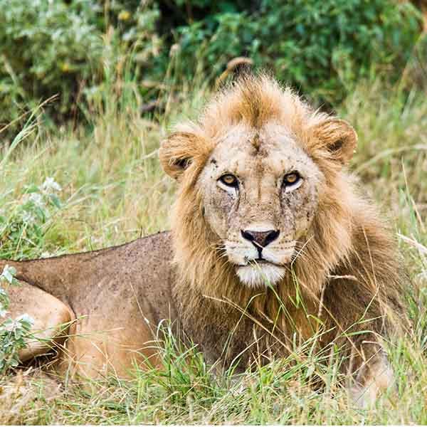 stage in afrika met leeuwen