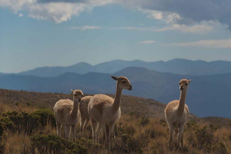 Lamas op een berg tijdens een stage in argentinie