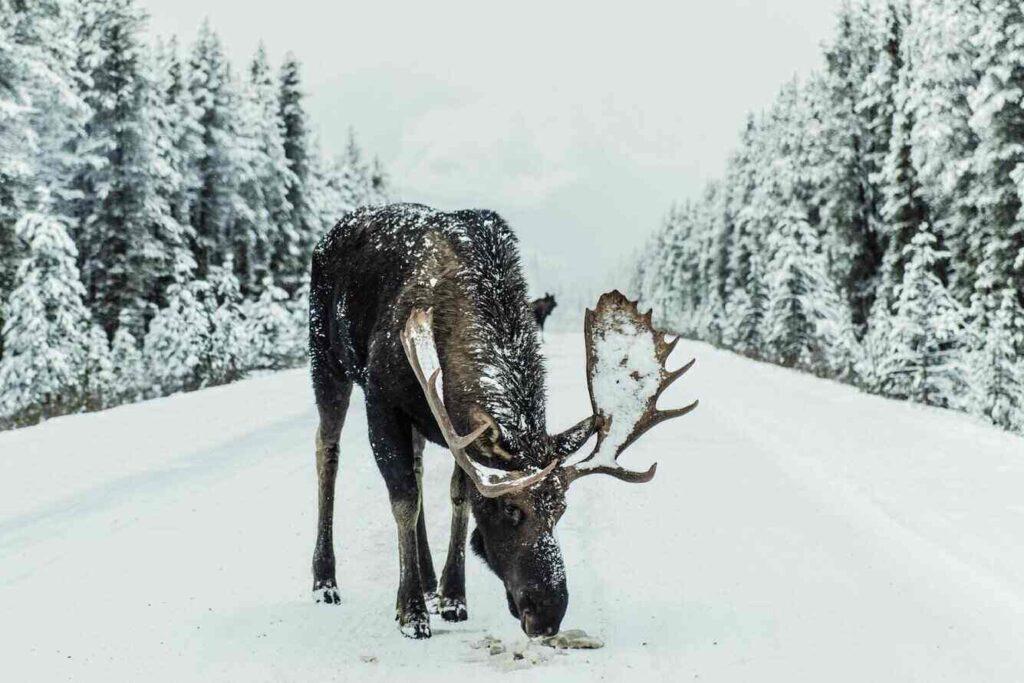 Een eland in de sneeuw in Canada