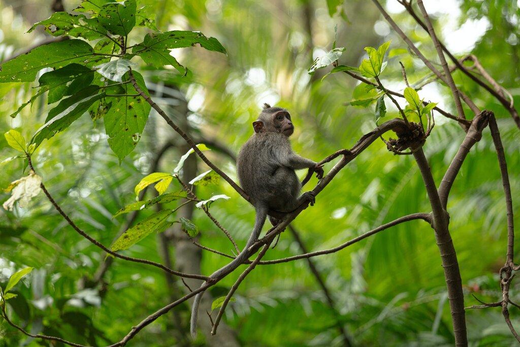aap in apenbos ubud