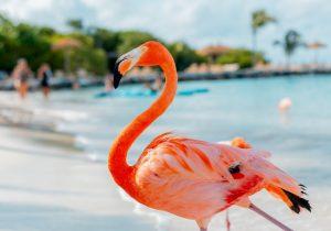 flamingo beach Stage aruba