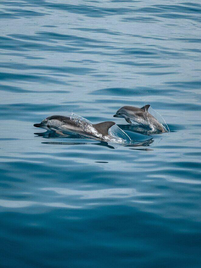Dolfijnen in het water bij het eiland mauritius